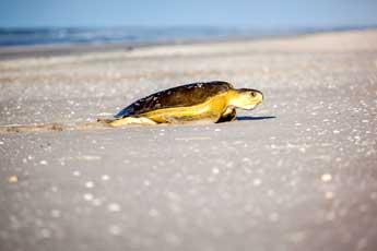 Bienvenida de tortugas