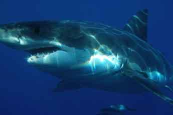 Weißer Hai vor Mallorca gesichtet